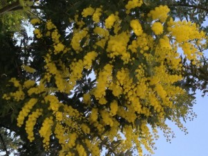 March - Acacia flowers