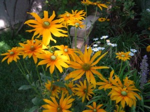 July - Rudbeckia wall