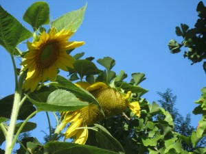 July - Sunflower Sky