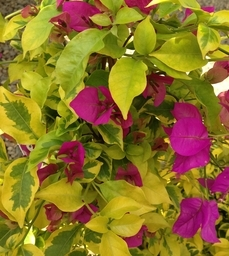 March - Monrovia Bougainvillea 'Golden Jackpot'