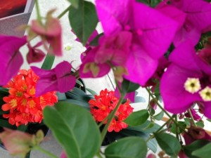 March - Monrovia Bougainvillea 'Purple Queen' & Clivia minata