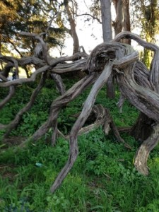 Santa Clarita Gardening - Twisted Tree in SF