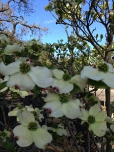April - Dogwood Flowers