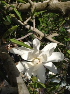 April - Star Magnolia