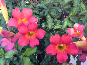 June - Blood Red Trumpet Vine SCV