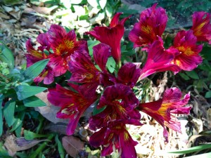 May Alstroemeria