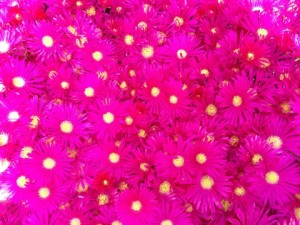 May - Ice Plant