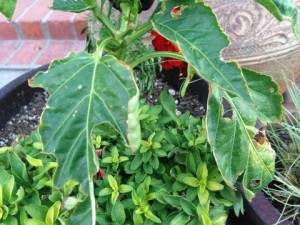 Snail damage to Pepper Plant