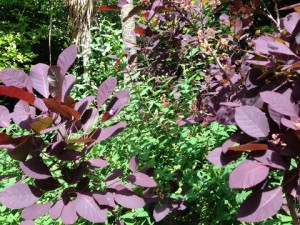 July - Cotinus & Hypericum London