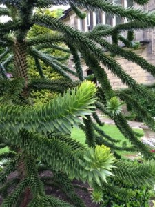 July - Monkey Puzzle Tree Bingly, UK