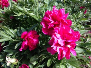 June - Peonies UK