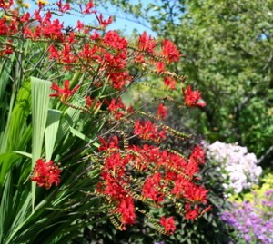 Butchart - Crocosmia red