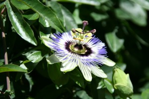 Butchart - Passion Flower