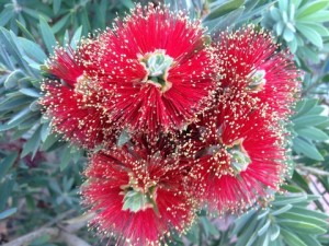 Callistemon Little John Flowers