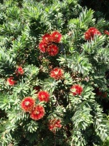 Callistemon Shrub