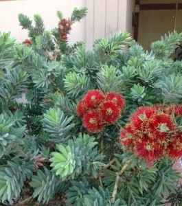 Callistemon entry