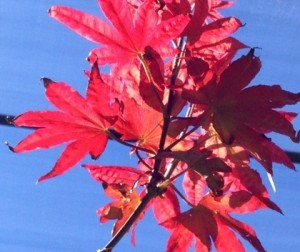 Oct - Japanese Maple Leaves