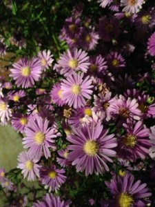 Sept - Asters