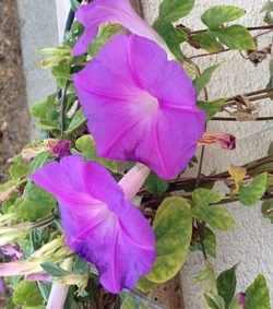 Sept - Morning Glory trio