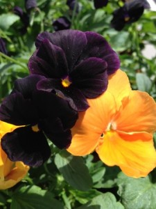 Sept - Pansies