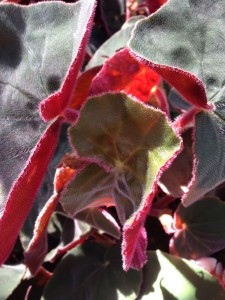 Nov - Begonia Leaves