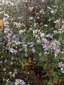 Dec - Asters in Central Park