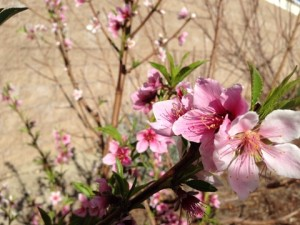 Feb - Peach blossom branch