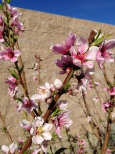 Feb - Peach blossoms