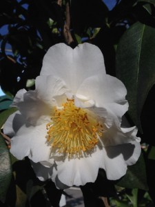 Jan - Camellia Silver Waves