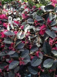 Loropetalum chinese