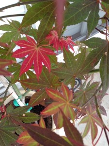 April - Japanese Maple Leaves