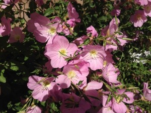 May - Mexican Evening Primrose