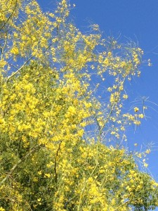 June - Palo Verde Tree - Santa Clarita