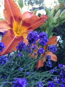 May - Day Lily-Lavender Santa Clarita