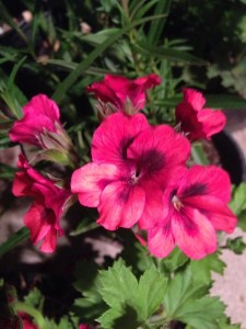 May - Pelargonium 'New Voodoo'