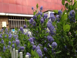 July - Ceanothus London