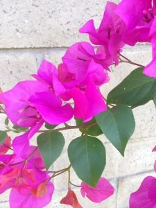 August - Bougainvillea - Valencia