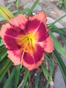 July - Blushing Summer Valentine Hemerocallis - Valencia