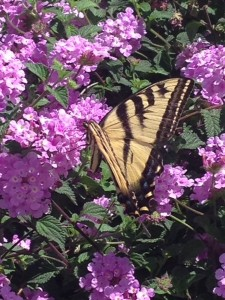 July - Lantana & Swallowtail Newhall