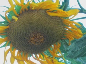July - Sunflower MM