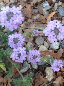 Natives - Verbena gooddingii