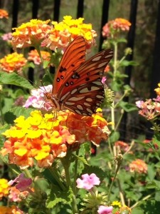 August - Lantana w-Painted Lady Valencia