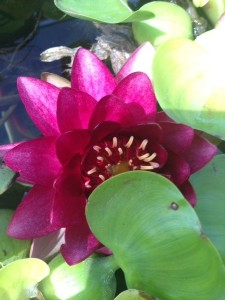 August - Lotus Flower Newhall