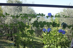 Morning Glory Italia