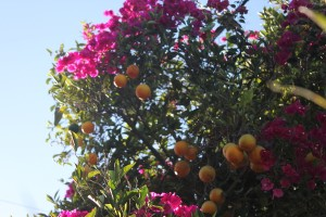 October - Citrus - Bougainvillea