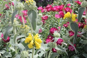 October - Phlomis & Chrysanthemums