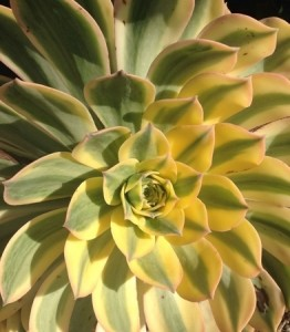 November - Aeonium 'Sunburst'