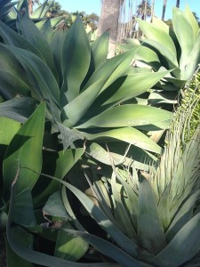 November - Agave in bloom