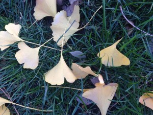 December - Ginkgo Leaves
