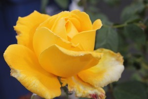 December - Yellow Rose Bud